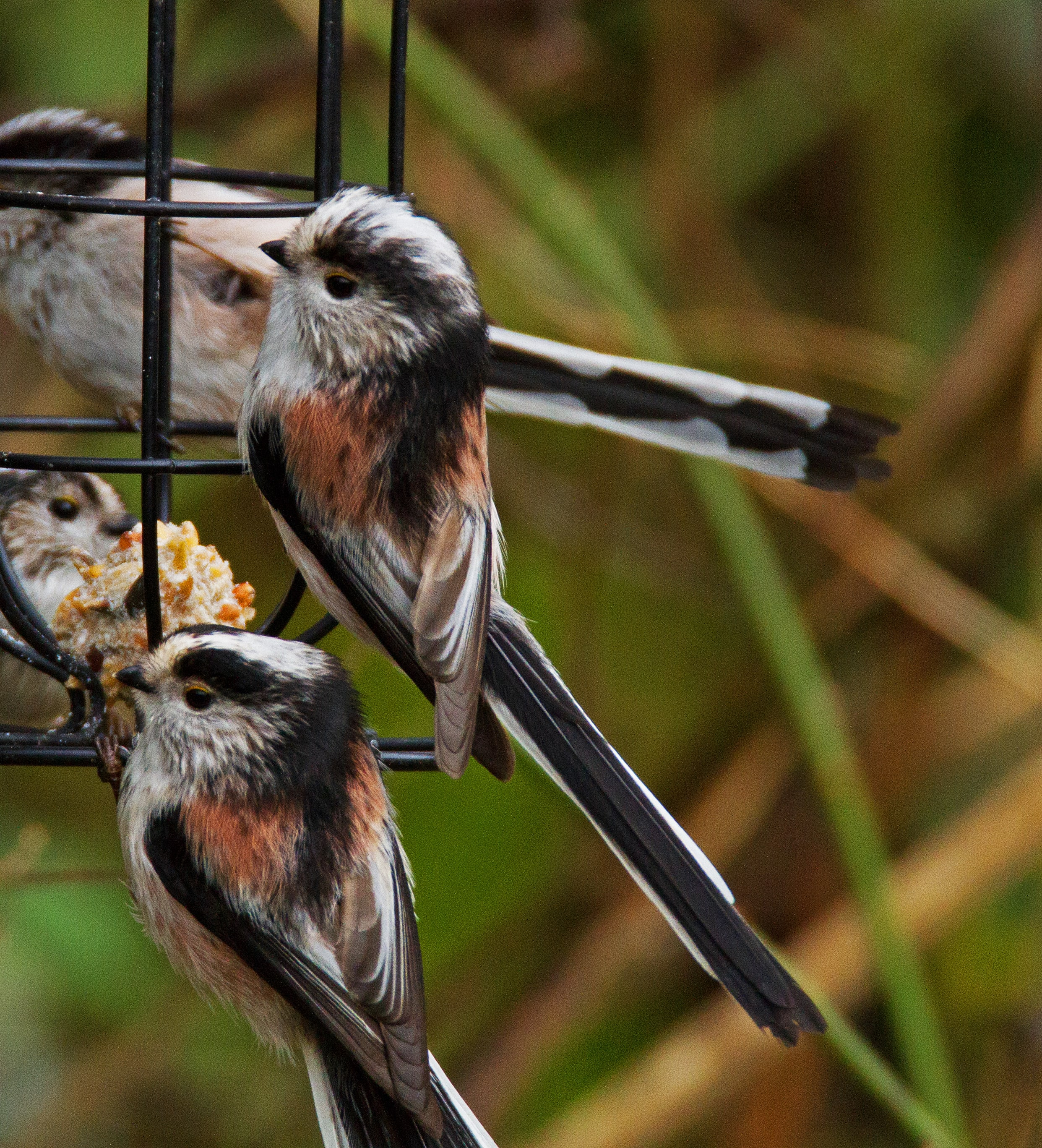 Long-tailed tits on the loose! - Wise Owl Blog by Love