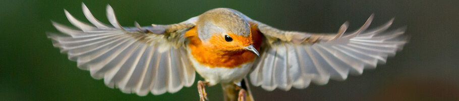 All About The Robin